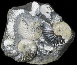 Buy Stunning Deschaesites Ammonite Cluster - Volga River, Russia - #50764