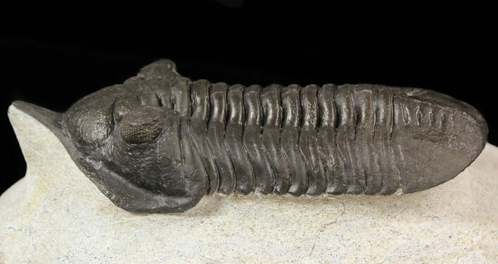 "2.7"" Morocconites Trilobite With Snout - Ofaten, Morocco"