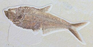 "Nice, 6.7"" Diplomystus Fossil Fish - Wyoming For Sale, #50867"