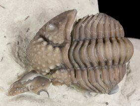 Partially Enrolled Nucleurus Anticostiensis Trilobite For Sale, #51071