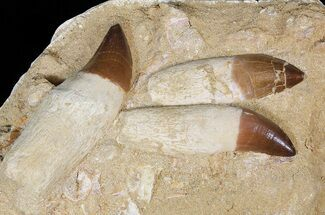 Three Rooted Mosasaur (Prognathodon) Teeth In Rock For Sale, #51326