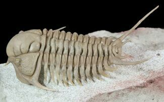 "2"" Spectacular Cyrtometopus Trilobite From Russia - (Clearance Price) For Sale, #51332"