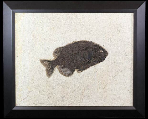 "10.6"" Phareodus Fossil Fish From Wyoming - Elegantly Framed"