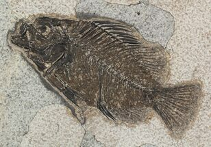 "4.4"" Cockerellites (Priscacara) Fossil Fish - Hanger Installed For Sale, #51056"