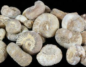 Bulk Small Perisphinctes Ammonite Fossils - 5 Pack For Sale, #51671