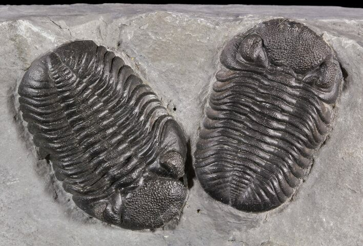 Exceptional Double Eldredgeops Trilobite Plate - New York