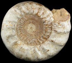 Euaspidoceras? - Fossils For Sale - #51855