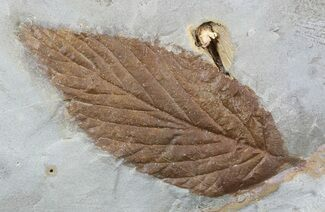 "Buy 2.2"" Fossil Hackberry Leaf - Montana - #52237"