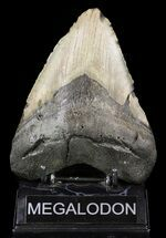 "Buy Bargain, 5.29"" Megalodon Tooth - North Carolina - #52291"