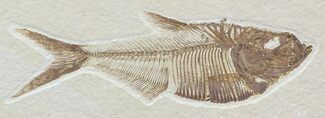 "Detailed, 4.05"" Diplomystus Fossil Fish - Wyoming For Sale, #52223"