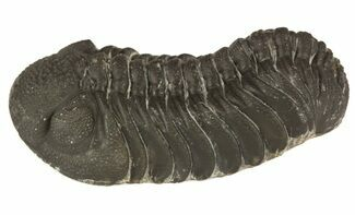 "2.4"" Barrandeops Trilobite - Almost No Rock With Hypostome For Sale, #52424"