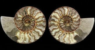 Cleoniceras cleon - Fossils For Sale - #51243