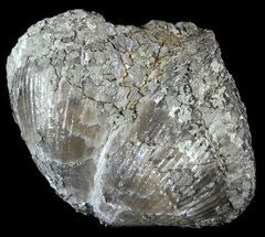 "2.2"" Pyrite Replaced Brachiopod (Paraspirifer) - Ohio For Sale, #52715"
