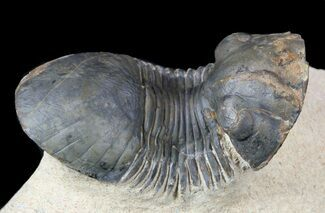 "1.9"" Paralejurus Trilobite Fossil - Foum Zguid, Morocco For Sale, #53531"
