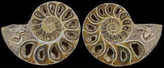 "3.9"" Cut & Polished, Agatized Ammonite Fossil - Jurassic For Sale, #53792"