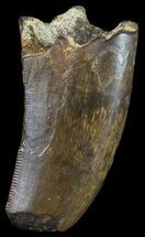 "Buy 1.38"" Tyrannosaur Tooth With Feeding Worn Tip - Montana - #52813"