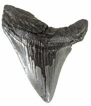 "Buy 2.40"" Juvenile Megalodon Tooth - South Carolina - #54136"
