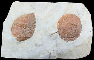 Two Paleocene Fossil Leaves (Zizyphoides & Beringiaphyllum) - Montana For Sale, #55142