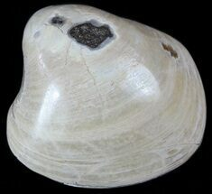 Polished Fossil Astarte Clam - Cretaceous For Sale, #55286