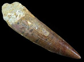 "2.68"" Spinosaurus Tooth - Unworn Tip For Sale, #52088"