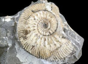 "Buy 1.5"" Wide Kosmoceras Ammonite - England - #42637"
