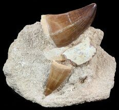 Two Mosasaur Teeth (Prognathodon) In Rock - Top Quality Prep For Sale, #55793