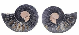 "2.4"" Cut/Polished Black Ammonite - Unusual Coloration For Sale, #55580"