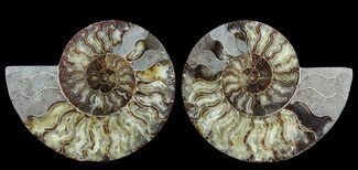 "Large, 9"" Polished Ammonite Pair - Agatized For Sale, #56159"