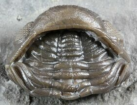 "1.15"" Wide, Enrolled Eldredgeops Trilobite - Ohio For Sale, #55454"