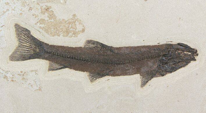 "17"" Notogoneus Fossil Fish Wall Mount - Rare Species"
