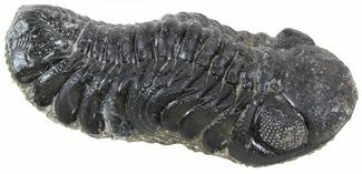 "Buy 2.1"" Austerops Trilobite Fossil - Rock Removed - #55864"
