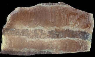 "7.1"" Polished Stromatolite (Jurusania) From Russia - 950 Million Years For Sale, #57563"