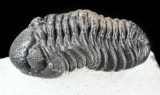 "Buy 1.9"" Barrandeops Trilobite - Multi-Colored Shell Preservation - #57664"