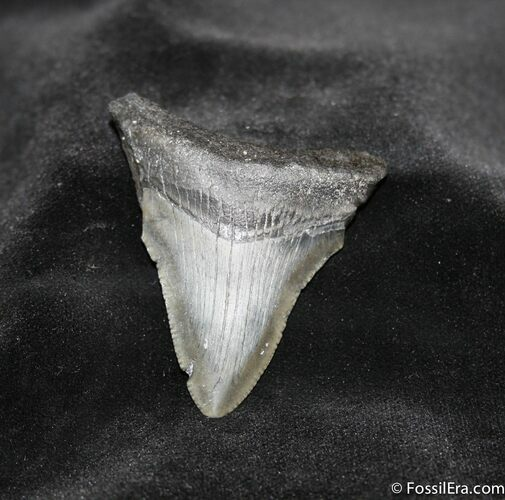 2.23 Inch Megalodon Tooth With Serrations