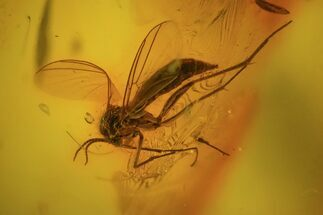 Buy Detailed Fossil Fly (Diptera) In Baltic Amber - #58051