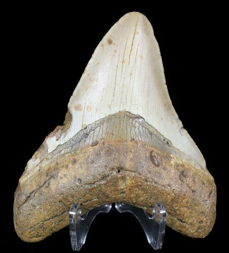 "4.37"" Megalodon Tooth - North Carolina"