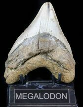 Carcharocles megalodon - Fossils For Sale - #59022