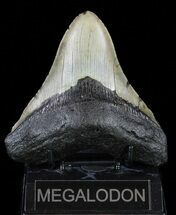 "4.59"" Megalodon Tooth - North Carolina For Sale, #59186"