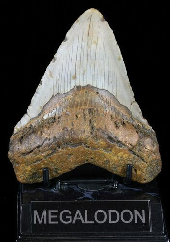 "4.82"" Megalodon Tooth - North Carolina"