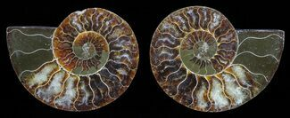 Cleoniceras - Fossils For Sale - #59463