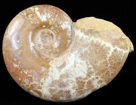 "15"" Wide Polished Jurassic Ammonite Fossil - Madagascar For Sale, #59729"