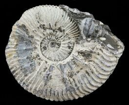 "2.1"" Wide Kosmoceras Ammonite - England For Sale, #60296"