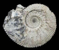 "Buy 1.5"" Wide Kosmoceras Ammonite - England - #60301"