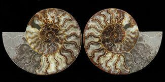 "7.2"" Cut & Polished Ammonite Pair - Agatized For Sale, #60284"