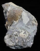 Buy Discoscaphites & Sphenodiscus Ammonites - South Dakota - #60244