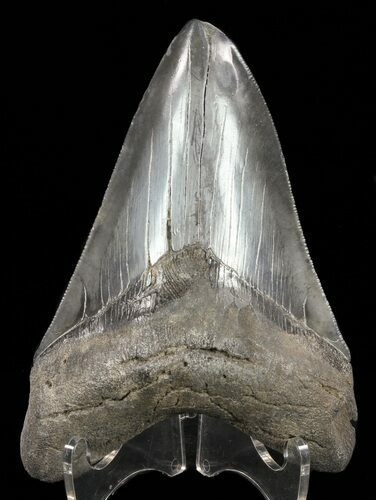 "4.82"" Megalodon Tooth - Serrated Blade"
