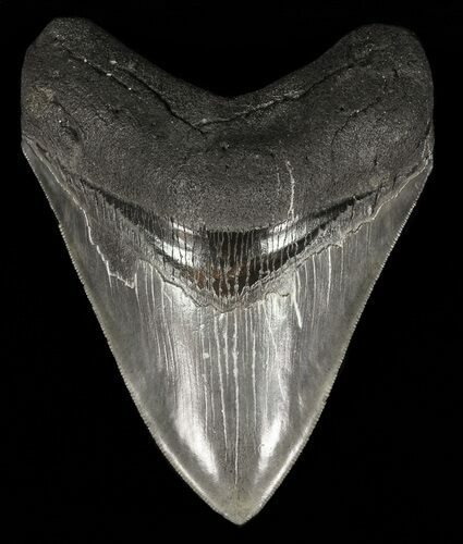 "Serrated, 4.47"" Megalodon Tooth - Georgia"