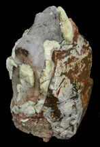 Hyracodon nebraskensis - Fossils For Sale - #60942