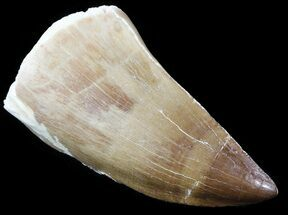 "Buy 2.06"" Mosasaur (Prognathodon) Tooth  - #61147"