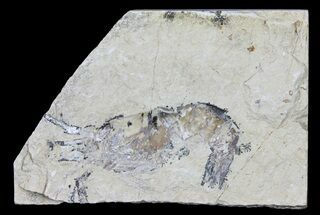 Cretaceous Fossil Shrimp (Carpopenaeus) - Lebanon For Sale, #61565